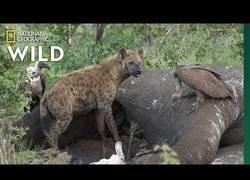 Enlace a Esto es lo que sucede cuando un elefante muere (NATIONAL GEOGRAPHIC VIDEO)