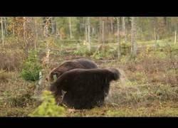 Enlace a Dos osos pardos luchando