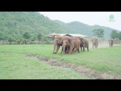 Así recibe una manada de elefantes a un elefante bebé rescatado