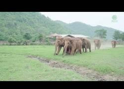 Enlace a Así recibe una manada de elefantes a un elefante bebé rescatado