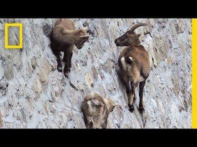 Estas cabras escalan paredes absolutamente verticales, y lo hacen así de tranquilas