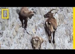 Enlace a Estas cabras escalan paredes absolutamente verticales, y lo hacen así de tranquilas