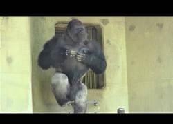 Enlace a Este gorila los tiene a todos fascinados