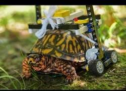 Enlace a Un zoológico de Estados Unidos construye una silla de ruedas para una tortuga herida