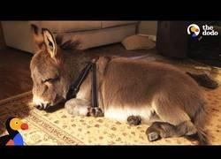 Enlace a Un pequeño burro que se cree perro
