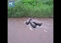 Enlace a Tres elefantes salvan a una cría que estuvo a punto de morir arrastrada por el río