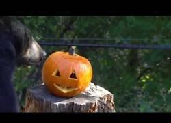 Enlace a Los animales del zoo de Oregon se lo pasan en grande con una calabaza decorada para Halloween