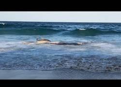 Enlace a Un tiburón tigre llega casi hasta la orilla para comer