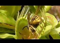 Enlace a Plantas carnívoras devorando avispas que pasaban por allí