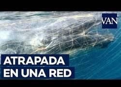 Enlace a Ballena atrapada en runa red contra tiburones