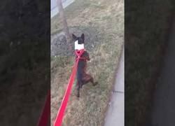 Enlace a Este perrito caminando a dos patas es tan gracioso