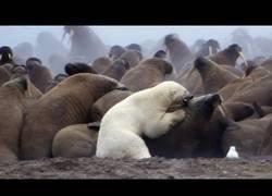 Enlace a La fuerza del oso blanco