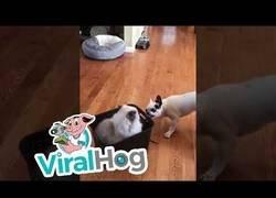 Enlace a Dos perretes se pelean por llevar de paseo a un gato