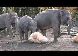Enlace a Elefantes se lo pasan en grande destrozando calabazas en el zoo de Oregon