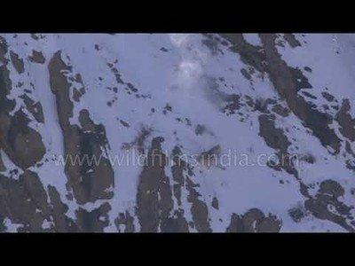 La volada espectacular de este leopardo para cazar en plena montaña del Himalaya