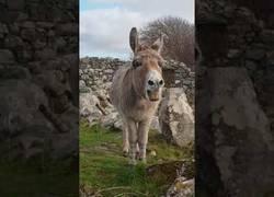 Enlace a La bonita serenata interpretada por este burro