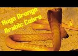 Enlace a La enorme cobra árabe naranja come otra serpiente.