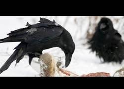 Enlace a El Secreto de los Cuervos: documental