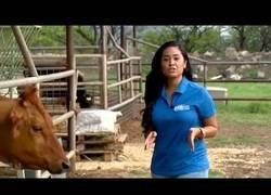 Enlace a Una vaca le lame un pecho a esta reportera