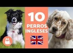 Enlace a Razas de perros inglesas