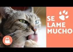 Enlace a ¿Por qué tu gato se lame mucho? Las razones de este comportamiento