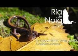 Enlace a Fauna de España: la salamandra rabilarga, la salamandra más espectacular