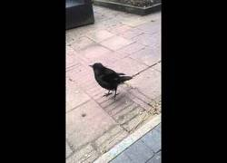 Enlace a El pájaro que imita mejor a las gallinas que nadie
