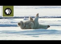 Enlace a Oso Polar secándose en la nieve