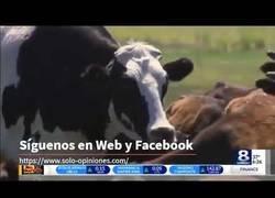 Enlace a Una vaca enorme se libra de ir al matadero por su tamaño