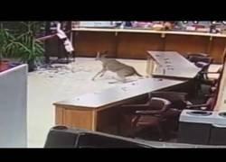 Enlace a Ciervo se cuela en el juzgado a través de una ventana