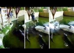 Enlace a Hombre cae en la fosa de los cocodrilos