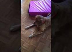 Enlace a Perro no sabe como reaccionar al juguete de la niña