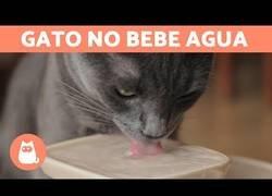 Enlace a ¿Cómo hacer que un gato beba agua?
