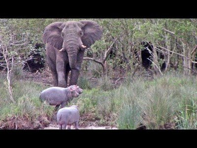 Elefante discute con tres hipopótamos por el territorio