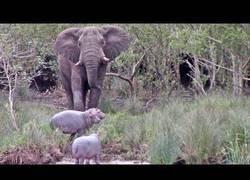 Enlace a Elefante discute con tres hipopótamos por el territorio