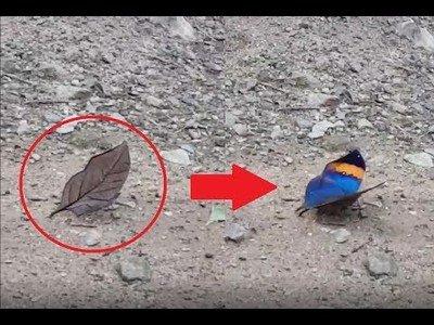 Hermosa mariposa se camufla como una hoja de verdad