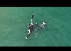 Enlace a Orcas juegan con un bañista