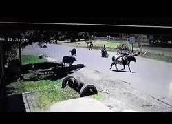 Enlace a Vaca hace una llave de judo a un motorista
