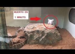 Enlace a Así actúa el veneno de una serpiente cascabel en un ratón (muerto en 1 minuto)