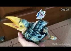 Enlace a Crecimiento del ave pico de banana