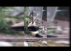Enlace a Panda juega con un cuchillo pensando que es un trozo de bambú