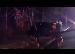 Enlace a Vaca se escapa del matadero y es llevada a un santuario