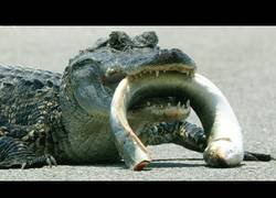 Enlace a Alligator vs Anguila