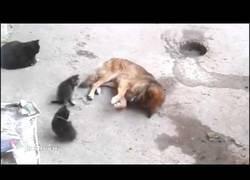 Enlace a Un gato le presenta a sus crías a un perro