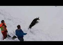 Enlace a Salvando a una cabra enterrada por la nieve