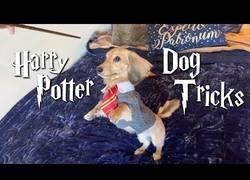 Enlace a Perro domesticado con trucos de Harry Potter