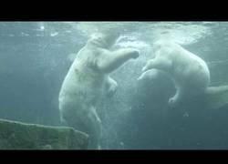 Enlace a Pelea de dos osos polares bajo el agua