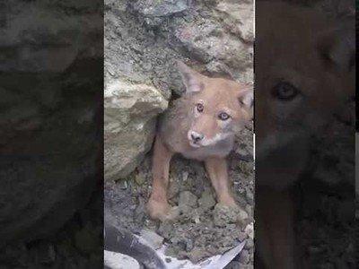 Coyote atrapado en unas rocas es salvado por los humanos