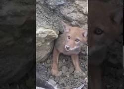 Enlace a Coyote atrapado en unas rocas es salvado por los humanos