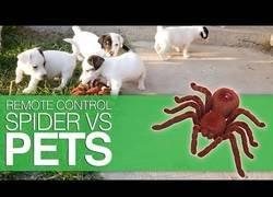 Enlace a Gatos y perros frente a su gran temor: arañas robot